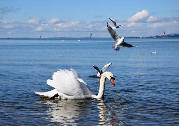 #vorarlberg #austria #österreich #visitvorarlberg #bregenz #mehrerau #visitaustria #bodensee #lakeconstance #swan #schwan #möwe #blau ...