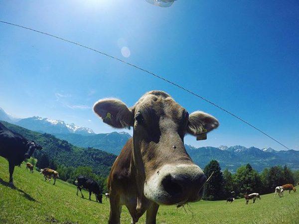Yes we like the nice weather too🐄🐂 #cow #outside #freshair #hotday #alps #meinmontafon ...