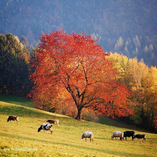 Mein Tribut an die Herbstfarben. Aufgenommen in der Nähe von Futsch - Dünserberg/Übersaxen ...