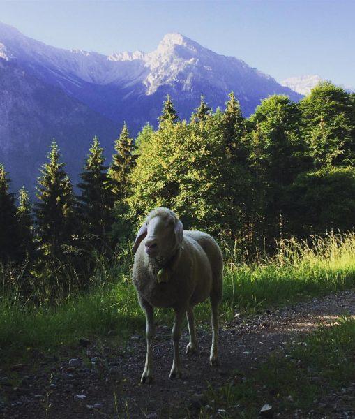 #alpauftrieb #dreischwestern Amerlügen, Vorarlberg, Austria