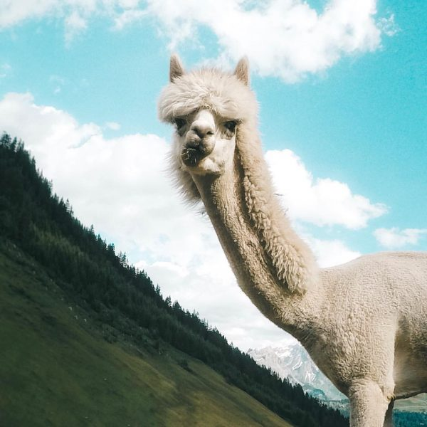 So one day I'll have a farm full of alpacas. I will be ...