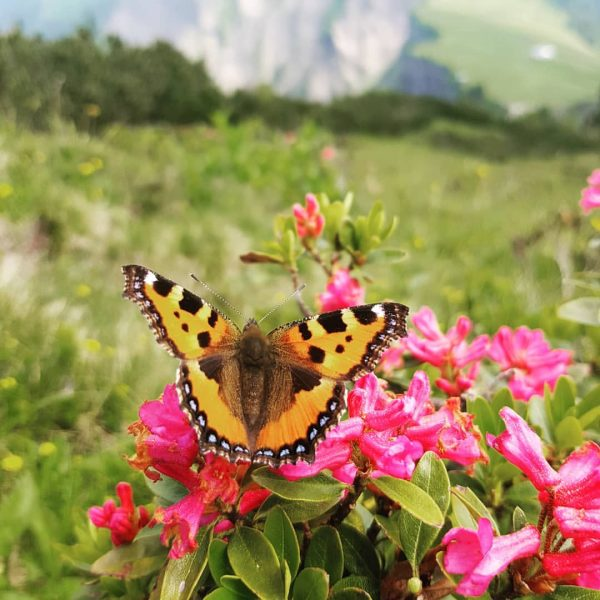 Schmetterlingsparty #schmetterling #butterfly #1000plusx #alpenrose #bregenzerwald #kleinerausflug Alpkopf (berg)