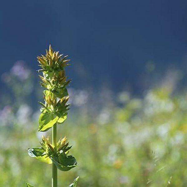Alpenrosen, Enzian, Arnika,.... in den Lecher Bergen gibt es viele geschützte Blumen und ...