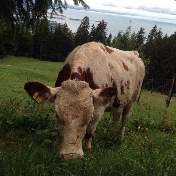 #pfänder #bregenz #wildpark #cow