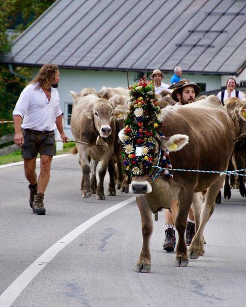 Viehscheid im Kleinwalsertal 🐄🐄🐄🎈😍 . . #viehscheid #mittelberg #kleinwalsertal #silviamannsbartfotografie #urlaub Der Kleinwalsertaler ...