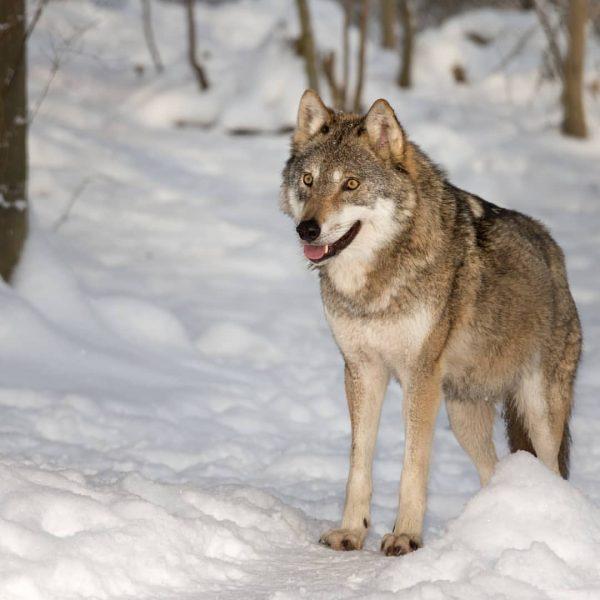 Erstmals hat ein Wolf das obere Saminatal besichtigt. Auch unsere Wölfe freuen sich ...