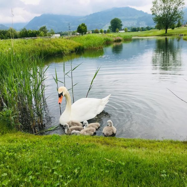 Golfsaison eröffnet ⛳️ #zeitzuzweit #perfekteswetter #family #schwanenbabies #sosüß Golfclub Montfort Rankweil