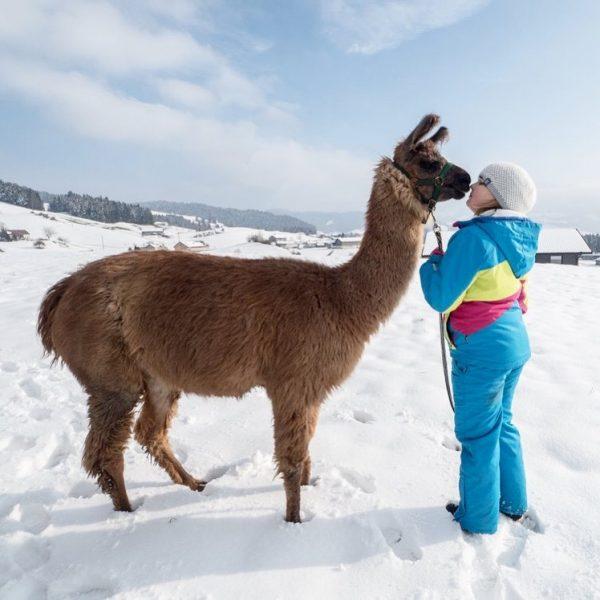 Julinčina nová láska. Lama z Landeneggu. Taková vycházka zimním Bregenzerwaldem s lamou na ...
