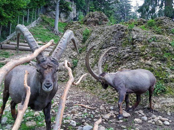 Ich bin hier der Boss.😊🐐 #animals #austria #hiking #wandern #steinbock #majestätisch #felsenmeer #berge ...