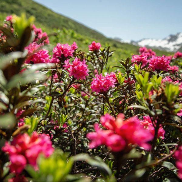 Immer wieder schön, wenn die Alpenrosen blühen. #meinmontafon #montafon #visitvorarlberg #feelaustria #alpenrosen #gargellen ...