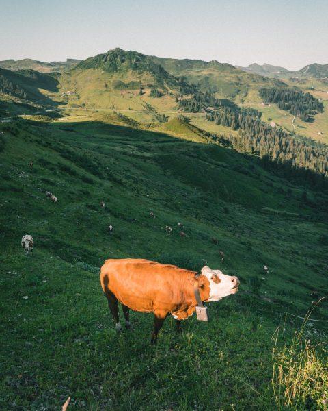 """GUYS, COME OVER HERE! I FOUND SOME DELICIOUS GRASS!"" #cow #alps #vorarlberg #furkajoch ..."