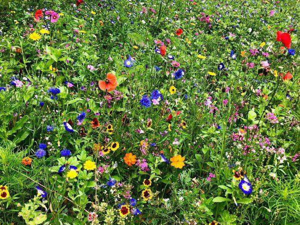 Tschaggunser Blumenwiese direkt gegenüber und oberhalb unseres Gasthof Löwen 🌷🦁 Auch bei Regen ...