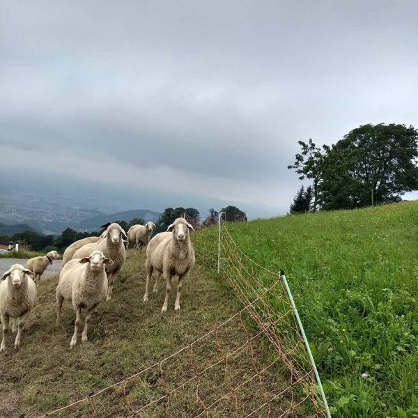 🐦Schafe im Kirschdorf Fraxern, im Hintergrund das Vorarlberger Rheintal im Frühherbstnebel 🍂 🍁🍂🍁🍂 ...