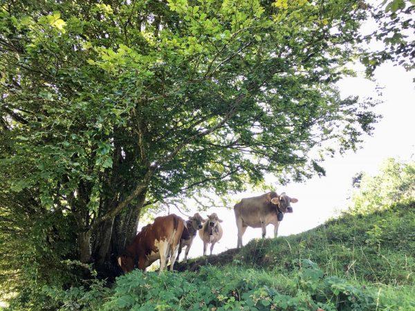 Alpenkühe die genüsslich vor sich hin schmatzen 🤗 so muss ein Kuh-Leben sein ...