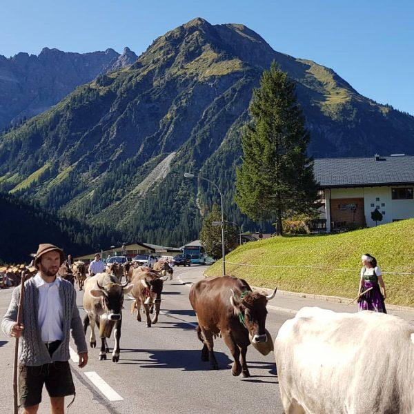 Ook de koeien van de Wiesalpe gaan naar stal. Zij lopen nooit met ...