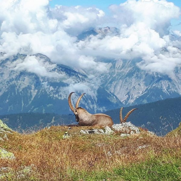 Steinböcke am Hochjoch, Montafon. #vorarlberg #visitvorarlberg #montafon #meinmontafon #wormserhütte #dav #alpenverein #nature #hochjoch ...