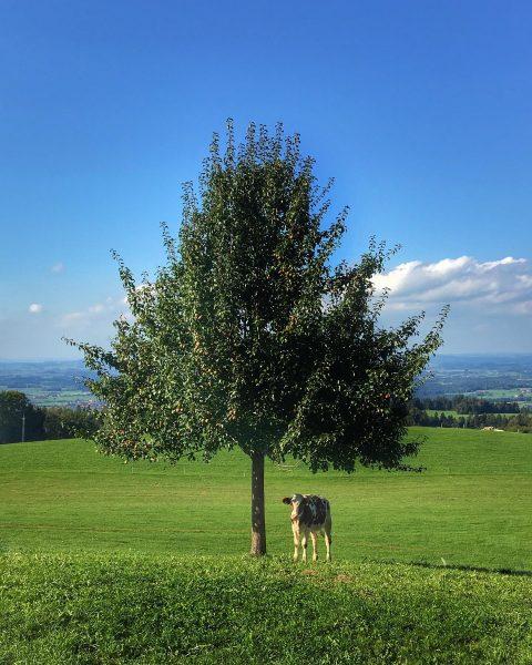 🐂 COW UNDER TREE🌳 ...nice snapshot near Bregenz🇦🇹 #bodensee #bregenz #visitbregenz #visitaustria #ig_austria #uniqueaustria #loveaustria #discoveraustria #enjoyaustria...