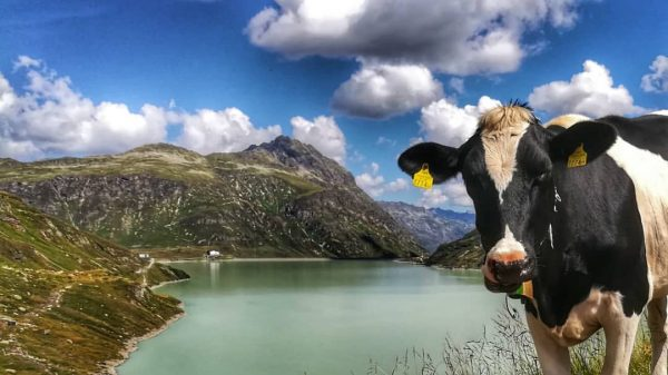 #mountains #mountainlife #mountainlovers #landscape #landscapephotography #cow #happycow #panorama #view #lake #hiking #clouds #cloudscape ...