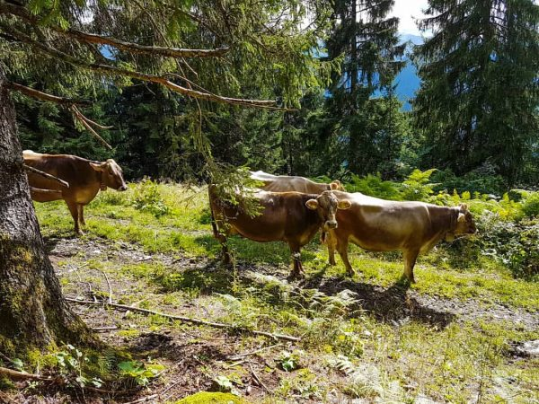 🐮⛰🌲 • #berghofbezau #bezau #bregenzerwald #vorarlberg #austria #österreich #visitvorarlberg #visitaustria #visitbregenzerwald #september #urlaubindenbergen ...