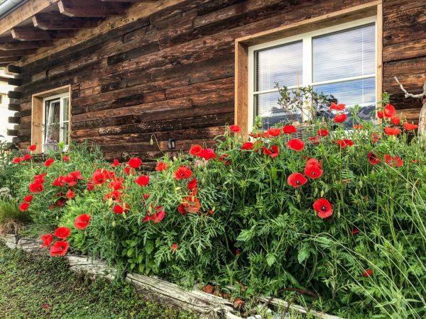 Klatschmohnblüte im #dreamchalet 🏡❤️ #chalet_alpentraum_bludenz #tinyhousetravel #rusticgarden #igersaustria #travelblogger #chaletgram #instachalet #travelgram #traveltips ...