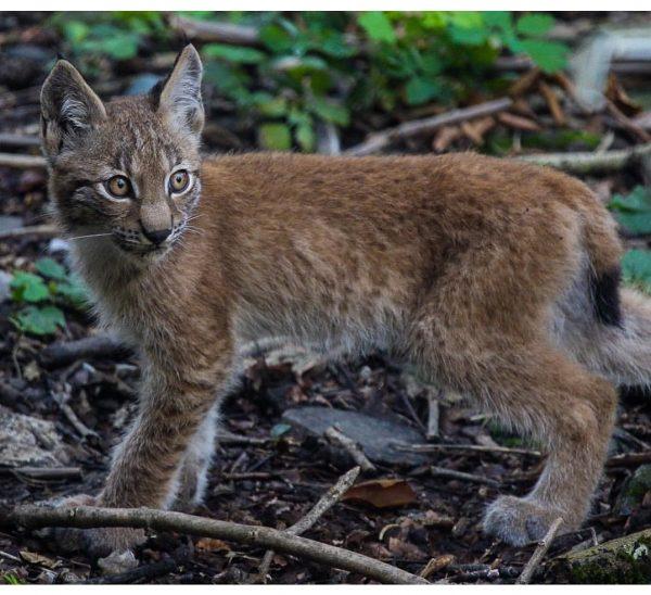 #lynx #nature #naturephotography #animals #animalsofinstagram #wildlifephotography #vorarlberg #feldkirch #wildpark #wildparkfeldkirch #lynxbaby #canoneos6d #canonphotography ...