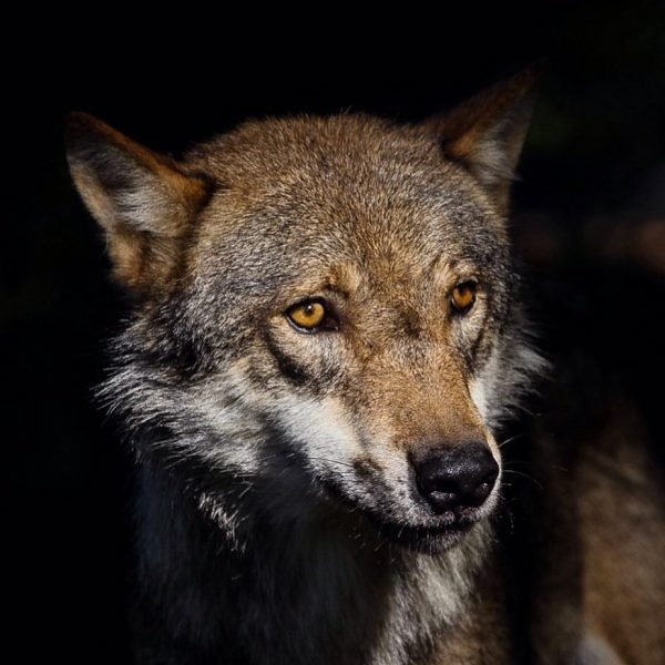 #canonphotography #canoneos6d #sigma150600mm #wolf #wildanimals #wildlife #wildlifephotography #wildtier #wildtiere #wildtierpark #wildparkfeldkirch #outdoor #feldkirch ...