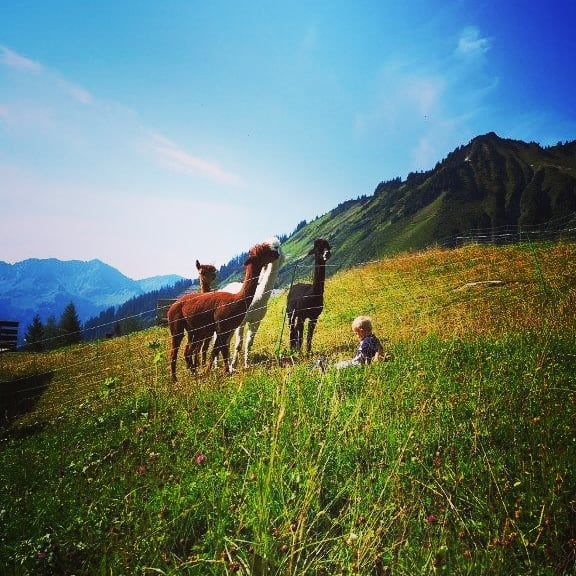 Auch unsere 4 Alpakas genießen das traumhafte Wetter in vollen Zügen. 🦙☀️🌾 #alpenresortwalsertal ...