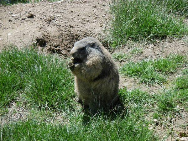 Alpenwildpark Pfänder @pfaenderbahn . #alpenwildpark #pfänder #murmeltier #murmeltiere #bregenz #marmot #marmots #marmotte #marmottes ...