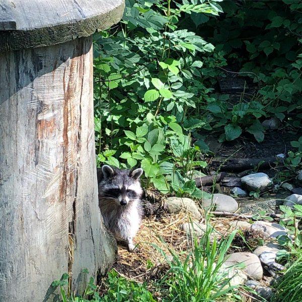 Zu Besuch bei Rocket Raccoon. #raccoon #wildcat #alps #alpen #wildpark #animals #vacation #austria ...