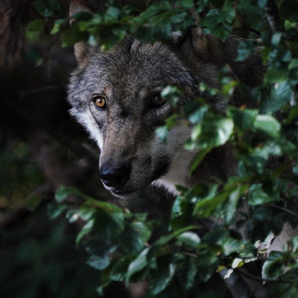 so nah sieht man sonst keinen Wolf, sehr imposante Erscheinung, wunderschönes Tier #wolf ...