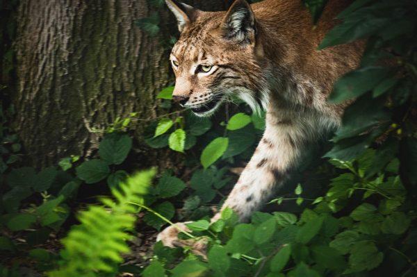 Ein faszinierendes Tier, aber leider nicht in freier Wildbahn erwischt #wildparkfeldkirch #feldkirch #visitvorarlberg ...