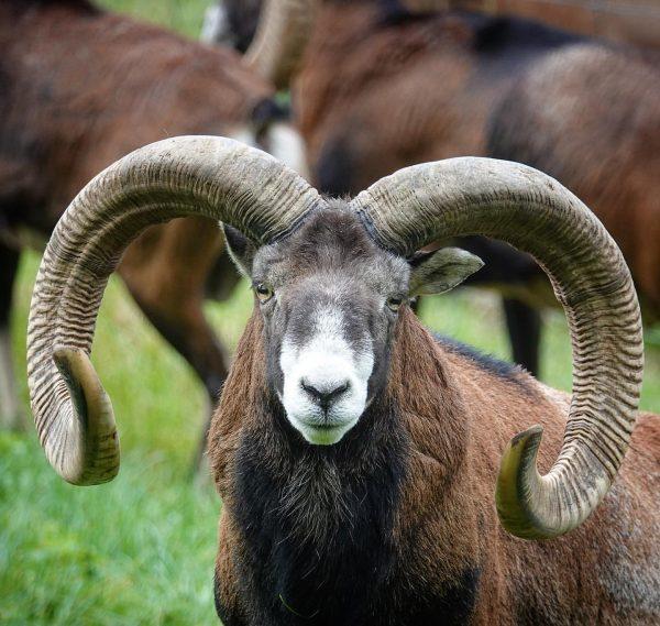 Mouflon, Pfander Mountain, Bregenz, Austria. #mouflon #pfander #pfaenderbahn #bregenz #austria #horns #travel #travelphotography ...