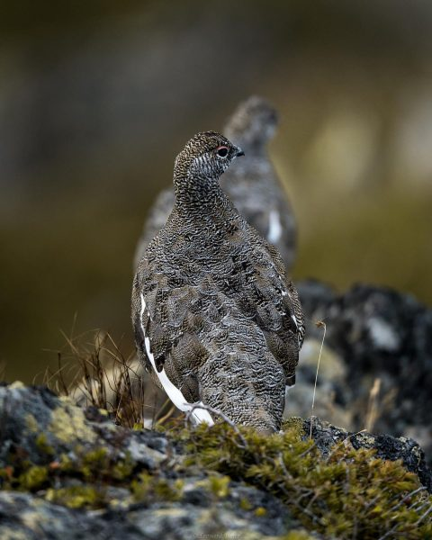 I was very lucky when I was able to photograph these ptarmigan. They ...