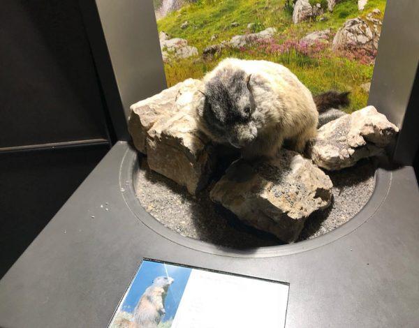 Hallo, little marmot! #DornbirnNaturalHistoryMuseum #Austria #🇦🇹 #📸MyPhoto #2018 @visitvorarlberg @visitaustria @inatura_dornbirn inatura - ...