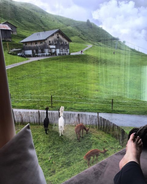 Watching the alpacas watching the cows come home from the window box at ...