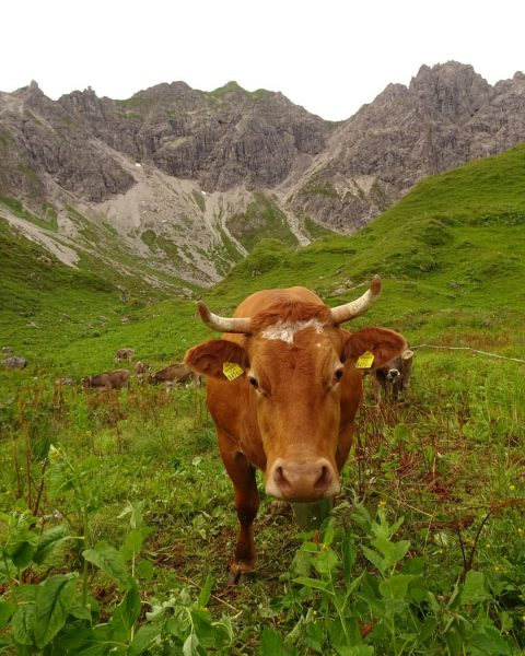 Muuuuuuh #meetnewfriends #muuh #wasguckstdu #kuhglocken #bergsteigen #klettern #multipitch #kleinwalsertal #wildental #schafalpenköpfe #derbergruft #mindelheimerhütte