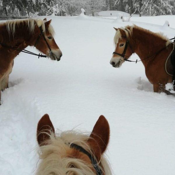Unsere Pferde lieben den Schnee. Je tiefer desto besser ;-) #sporthotelbeck #haflinger #schnee ...