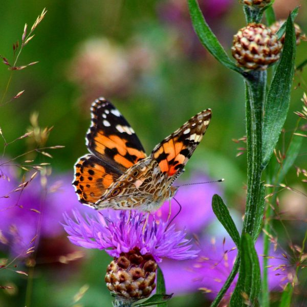 Awesome Nature Colors 😍 #photooftheday #photography #fotografie #naturephotography #naturfotografie #butterfly #schmetterling #distel #thistle ...
