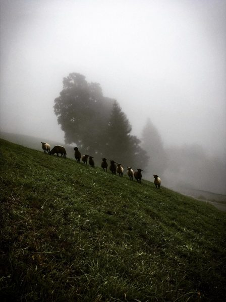 The fog was very dense. The sheeps starred at me. Suddenly they all ...