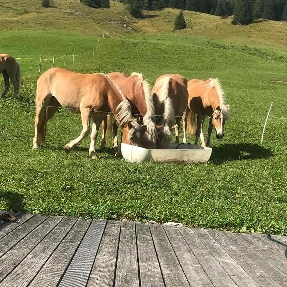 Unsere Haflinger genießen, wie wir, das tolle Wetter in den Bergen 😍 #sporthotel ...