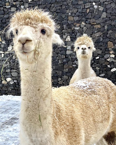 How cute are these Alpacas?! @aureliohotel They've just finished their breakfast #messyface #aureliolech ...