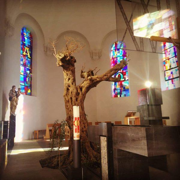 In der #kirche von #lingenau wächst ein ca 250 Jahre alter #olivenbaum Die ...