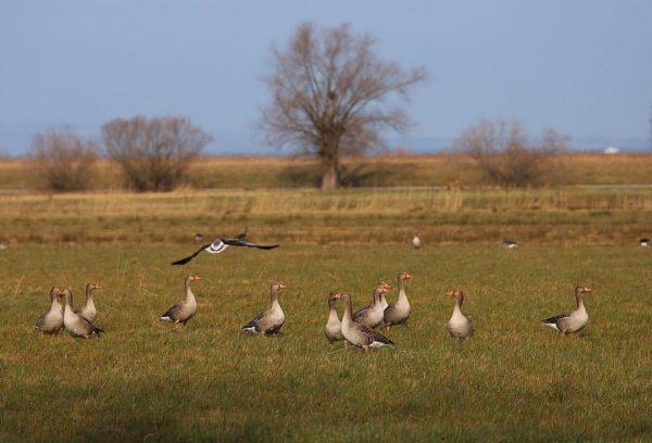 Zwischenlandung am Rohrspitz #rohrspitz #wildgänse #birdphotography #vogelflug #zugvögel #bodensee #bodenseebilder #birdpage #bodenseepage #bodenseeregion ...