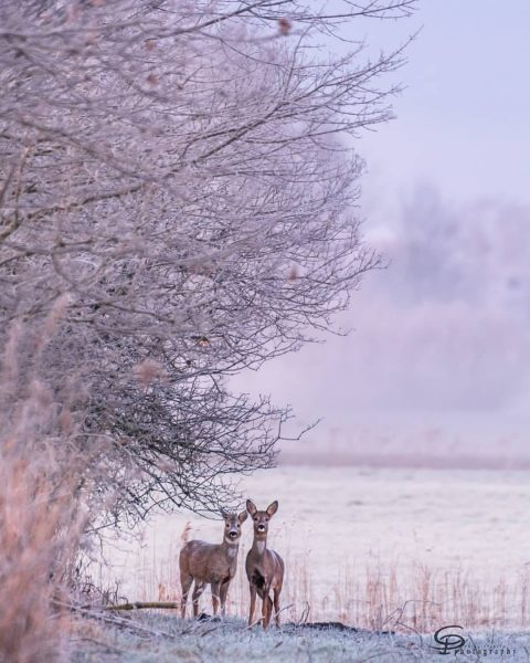 Hello there! Roe deer feeding in the early hours, embraced by pinkish morning ...