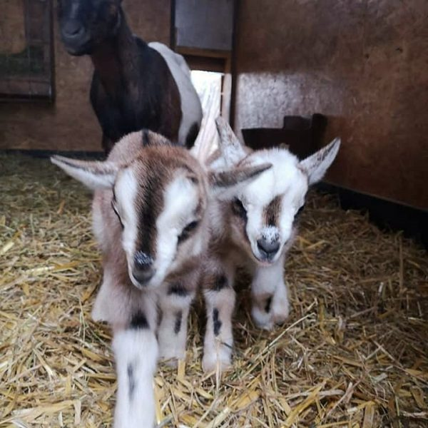 Die kleinen Zwergziegen sind schon eine Woche alt. - #wildparkfeldkirch #wildpark #wildtiere #tiere ...
