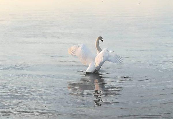 #swan #rohrspitz #lakeofconstance #vorarlberg #austria🇦🇹 #nature #ilovenature #naturephotography #nofilter #8.3.2020
