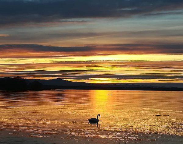 #sunset #swan #rohrspitz #lakeofconstance #vorarlberg #austria🇦🇹 #nature #ilovenature #naturephotography #nofilter #8.3.2020