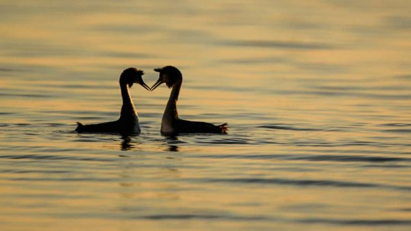 Tete-a-Tete #haubentaucher #birdphotography #bird #birds #fauna #bodensee #myvorarlberg #explorevorarlberg #romantic #naturephotography #naturfotografie Naturschutzgebiet ...