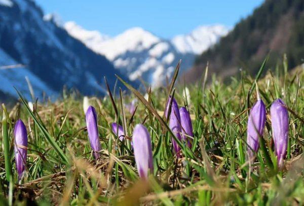 #Frühling #Blumen #krokusjes #lente #bluesky #mountains #Alps #Kleinwalsertal #Oostenrijk #Vorarlberg #Austria Mittelberg vandaag ...