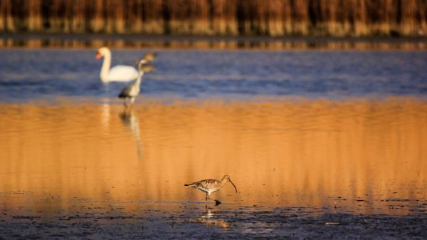 peacefull #brachvogel #curlew #birdphotography #bestbirdshots #birds #naturfotografie #naturephotography #bodensee #visitvorarlberg #explorevorarlberg #myvorarlberg #fauna ...